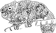 pomeleon